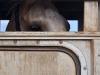 koloa-horse-in-trailer-017